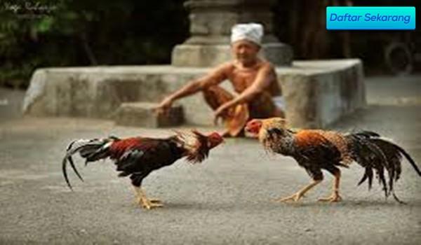 Cara Singkat Punya Agen Adu Ayam Taji Kemenangan Asli 100%